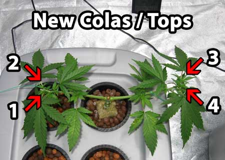 Building a cannabis manifold - there are now 4 total growth tips / colas