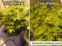 2 views of a LST'd plant