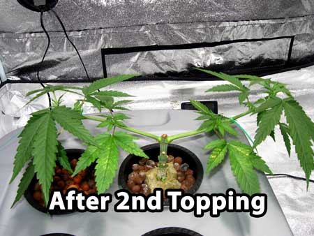 Building a cannabis manifold - plant right after 2nd topping
