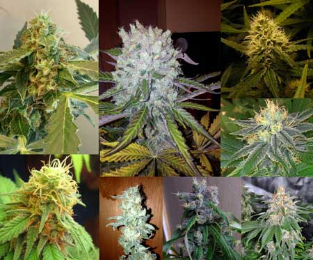 Different buds show different phenotypes