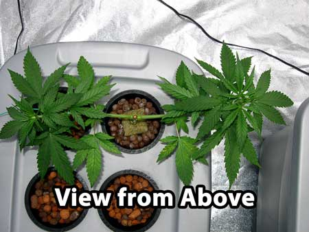 Same cannabis plant - view from above