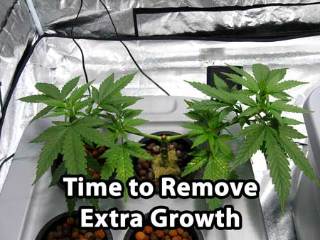 At this point in the manifolding process, it's time to remove the extra growth
