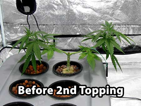 Building a manifold - cannabis plant just before second topping