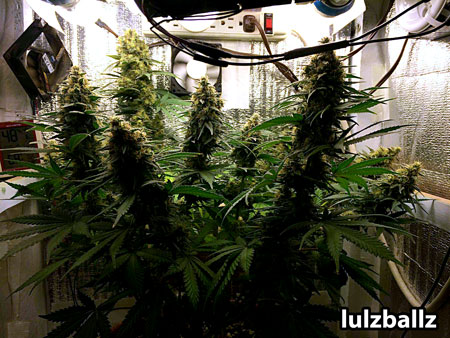 Blue Cheese by Big Buddha seeds grow journal picture