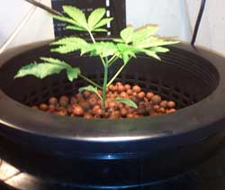 First time growing marijuana bubbleponics