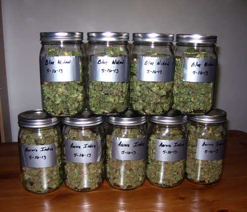Cannabis buds curing in mason jars