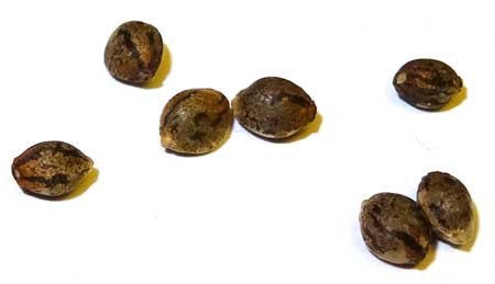 Close-up of cannabis seeds - Click on this picture to learn more about getting your hands on great seeds