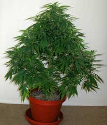 A cannabis plant growing in its typically, inefficient manner.