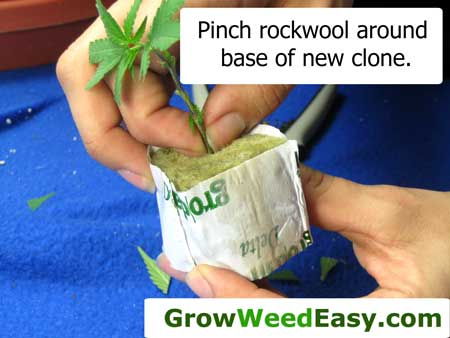 Pinch rockwool around base of new clone