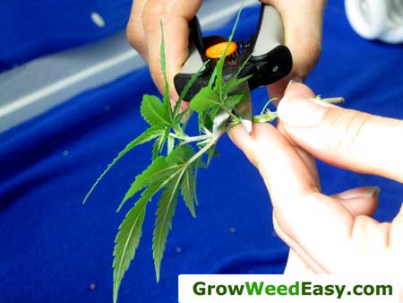 Trim the leaves and lower nodes off of the new cutting, your clone doesn't need them