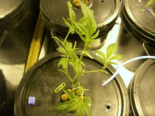 Young Marijuana plant after being defoliated