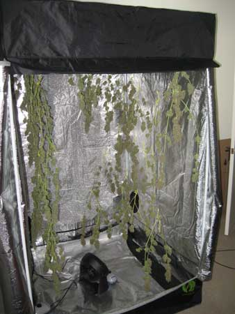 Drying buds in your grow tent is simple, and lets you have more control over your environment