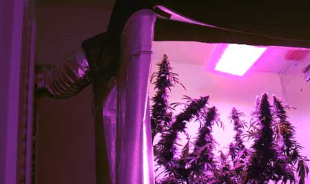 LED grow lights set up with an exhaust system