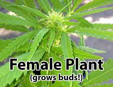 Female cannabis plant (DOES grow buds) - female plants grow the sensimilla / buds that every cannabis grower is trying to produce