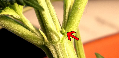 Female cannabis calyx - can be confused with a pollen sac because it hasn't started growing pistils (hairs) yet, but one major difference is female pre-flowers tend to be more pointy than male pre-flwoers