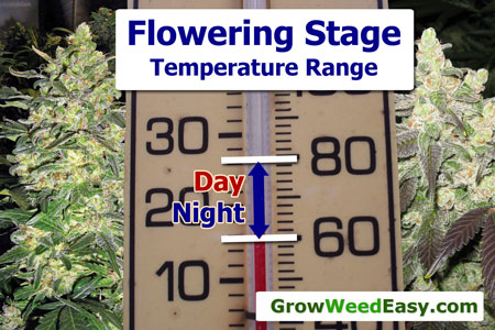 Keep your temperature right in the flowering stage to produce the densest buds possible (among other great benefits)