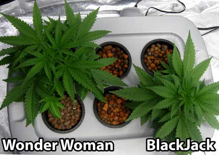Chose the best cannabis plant from each strain - these chosen two plants will be nurtured until harvest