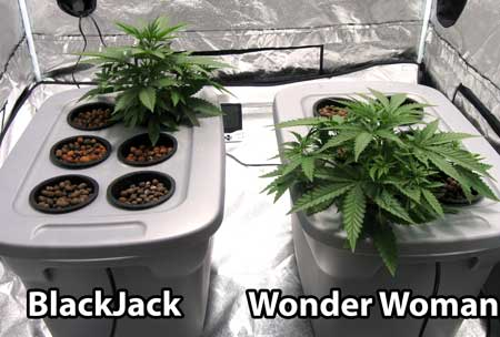The BlackJack and Wonder Woman cannabis plants were moved to their own separate tubs
