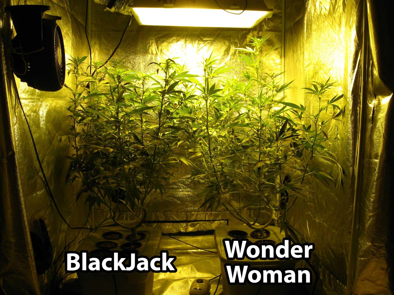 600W Hydroponic Grow Journal - 23 09 oz Harvest! | Pěstujte