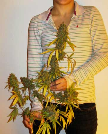 Huge cola from the Wonder Woman cannabis plant