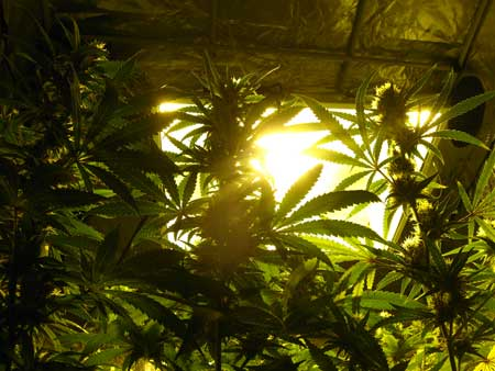 Looking up at HPS grow lights through the cannabis canopy