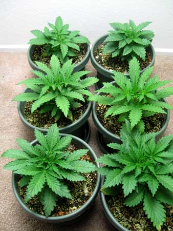 Cannabis plants were just transfered to 2 gallon containers