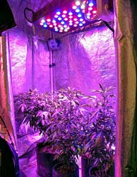 Cannabis plants under an LED grow light in a grow tent