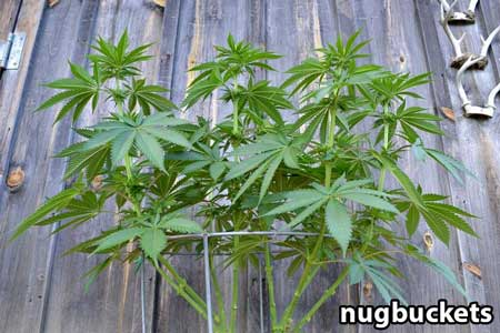 Underskirt view of main-lining cannabis - Nugbuckets