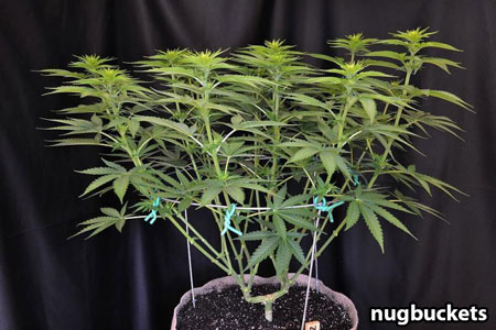Main-lining allows you to grow flat indoor plants, to take the best advantage of your indoor grow lights