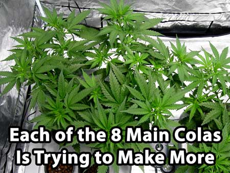 Main-lining cannabis tutorial - each of the 8 main colas is trying to make more