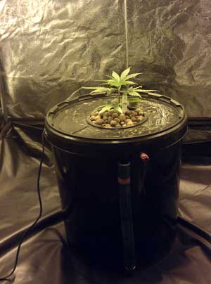 Marijuana plant growing in a homemade bubbleponics system - Awesome setup