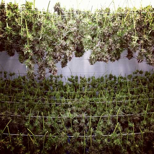 Many marijuana plants drying - smells delicious in this room!