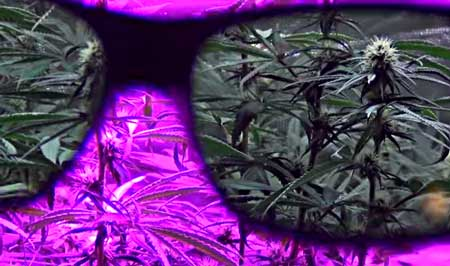 A pair of Method7 glasses let you see an LED cannabis garden in true color, without having to turn off the lights