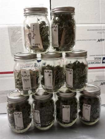 Final harvest in jars - about 5 ounces of premium bud, plus lots of popcorn buds and trim to make edibles with