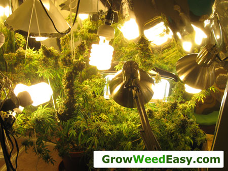 Growing marijuana with CFL grow lights