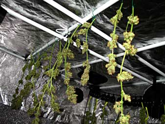 Never let cannabis buds touch each other during the drying process
