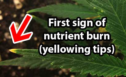 First sign of cannabis nutrient burn is often yellowing at the tips of the leaves