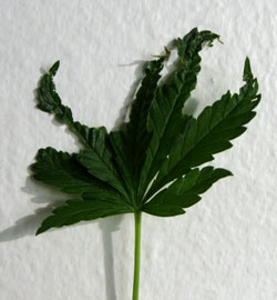 This leaf is actully a survivor from the pinch!