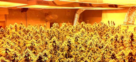 Cannabis plants flowering under HPS grow lights - all HPS lights produce light that looks yellow