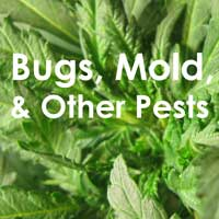 Bugs, Mold & Other Marijuana Pests - GrowWeedEasy.com