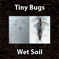 Cannabis Fungus Gnats in soil - GrowWeedEasy.com