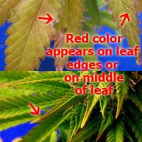 Cannabis Molybdenum Deficiency - Red appears on pot leaves - GrowWeedEasy.com