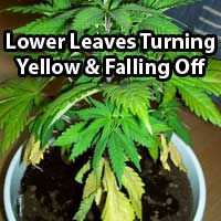 Cannabis Nitrogen Deficiency - Older leaves turning yellow  - GrowWeedEasy.com