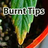 Cannabis nutrient burn symptoms on leaf - GrowWeedEasy.com