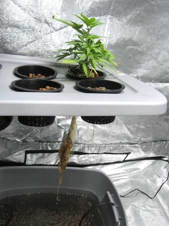 Root rot hydroponic system - above and below, leaves are discolored, roots are brown