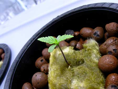 A cannabis seedling growing its first few sets of leaves