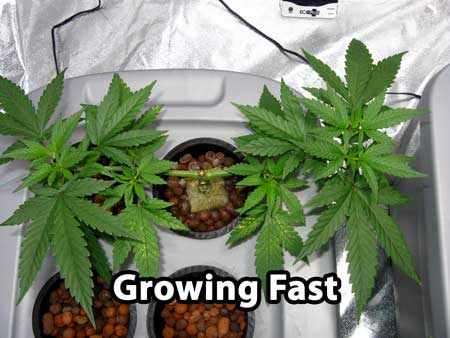 Building a manifold - start this step after cannabis is growing fast, seemingly having recovered from the last step