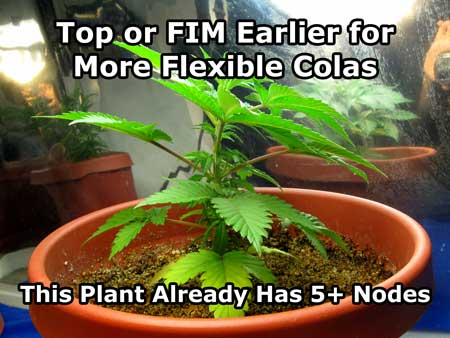 It's a good idea to top or FIM earlier for the most flexible colas.This cannabis plant is almost too big to top or FIM.