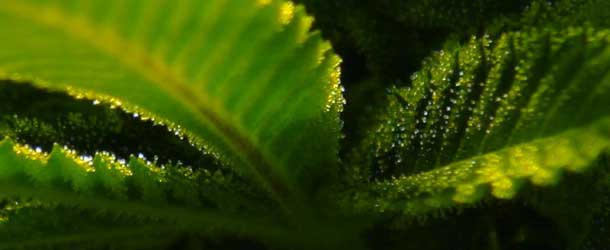 What makes a cannabis plant smell the way it does? The answer is terpenes and terpenoids