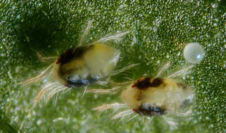 Extreme close up of the two-spotted spider mite - Tetranychus urticae - a marijuana grower's worst garden pest